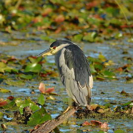 Carla Parris - Black -crowned Night Heron