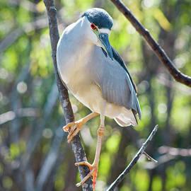 Dawn Currie - Black-Crowned Night Heron II