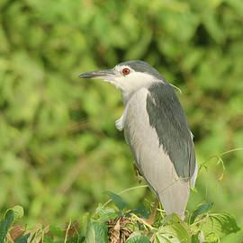 Mihir Joshi - Black-crowned night heron