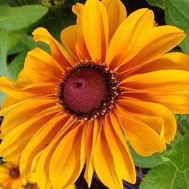 Black-Eyed Susan Blossom by Bruce Bley