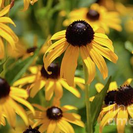 Ruth Housley - Black Eyed Susan Flowers