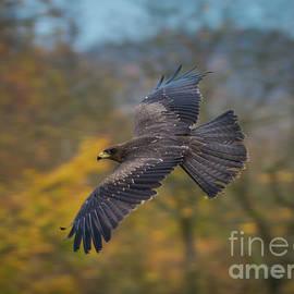 Eva Lechner - Black Kite in Flight