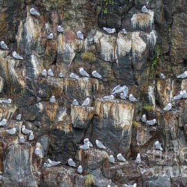 Black-legged Kittiwakes by Chris Scroggins
