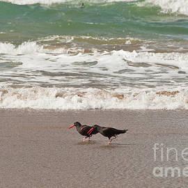 Black Oystercatchers Conversing at the Coast by Jackie Follett
