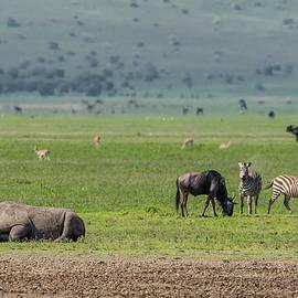 Black Rhinoceros on Open Plains by Morris Finkelstein