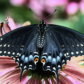Black Swallowtail 3 by Pete Federico