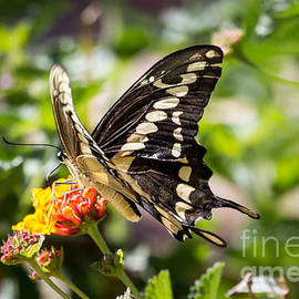 Robert Bales - Black Swallowtail Butterfly