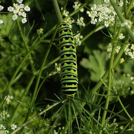 Black Swallowtail Butteryfly Caterpillar by Chholing Taha