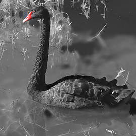 Black Swan by Donna Kennedy