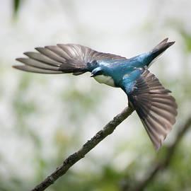 Joseph Kolecki - Tree Swallow