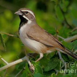 Black-throated Sparrow by Myrna Bradshaw
