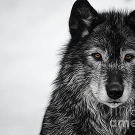 Brad Allen Fine Art - Black Wolf I