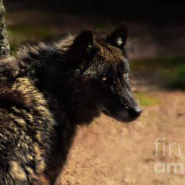 Isabel Menzel - Black Wolf