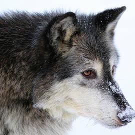 Steve McKinzie - Black Wolf