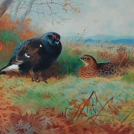 Blackcock and hen - Archibald Thorburn