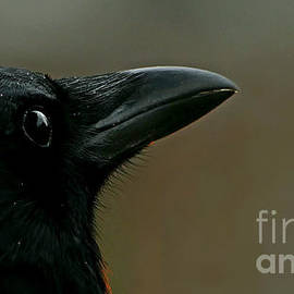 Blackcrowfriend by Doria Fochi