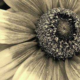 Bruce Bley - Blackeyed Susan in Sepia 2