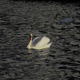 Denise Mazzocco - Blackwater Swan
