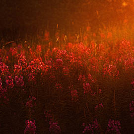 Marty Saccone - Blazing Fireweed at Sunset