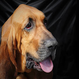 Bloodhound - Governed by a world of scents by Christine Till
