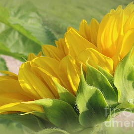 Dora Sofia Caputo Photographic Design and Fine Art - Blooming Sunflower