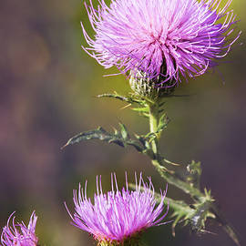 Sharon McConnell - Blooming Thistle