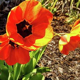 Neal Alicakos - Blooming Tulips