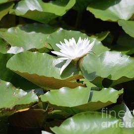Ruth Housley - Blooming Waterlily