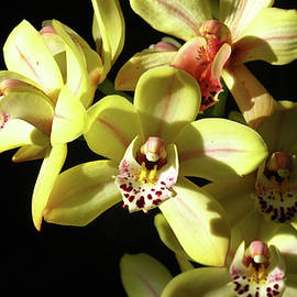 Blooming Yellow and Red Orchids by Ruth Jolly