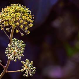 Blossoming Ivy - Rare Phenomenon by Irina Safonova