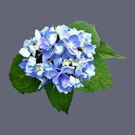 Blue and Purple Hydrangea by Susan Savad