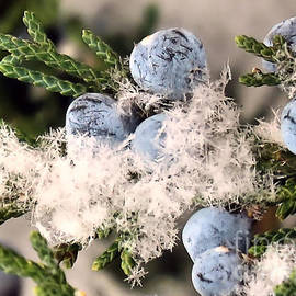 Blue Berries of a Red Cedar  by Janice Drew