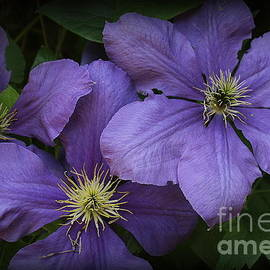 Blue Clematis in Full Bloom by Dora Sofia Caputo