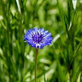 Cynthia Guinn - Blue Cornflower