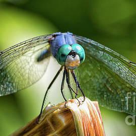 Blue Dragon  by Mitch Shindelbower