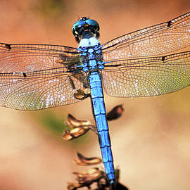 Andrew Chianese - Blue Dragonfly