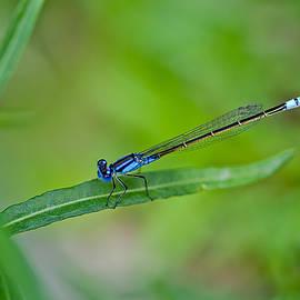 Blue Dragonfly by Az Jackson