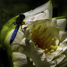 Blue Dragonfly on White Water Lily by Richard Singleton