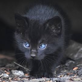 Blue-Eyed Kitten by Mary Ann Artz
