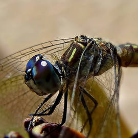 Blue eyes of Dragonfly by Lilia D