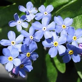 Blue Forget-Me-Nots by Kathryn Jones