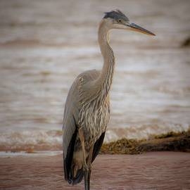 Tracy Bell - Blue Heron 005