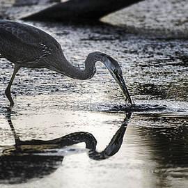 Marty Saccone - Blue Heron Fishing  Gotcha
