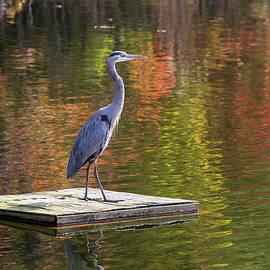 Amy Jackson - Blue Heron in Autumn