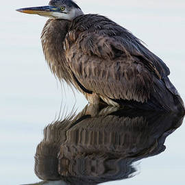 Dawna Moore Photography - Blue Heron in Reflection, St. Marks Wildlife Refuge, Florida