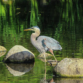 Blue Heron Reflections by Marlin and Laura Hum
