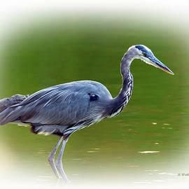 Brian Wallace - Blue Heron Standing Still