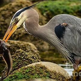 Great Blue Heron's Fat Fish Dinner by Turtle Shoaf