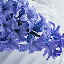 Blue Hyacinth by Ann Garrett