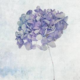 Blue Hydrangea by Maria Heyens